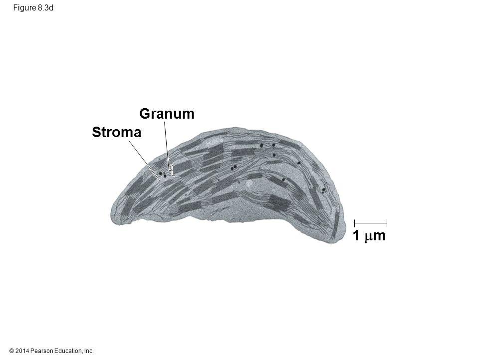 Granum Stroma 1 m Figure 8.3d