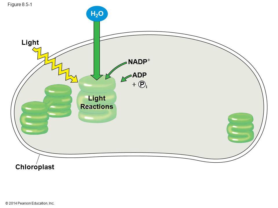 H2O Light NADP ADP  Light Reactions Chloroplast P i Figure 8.5-1