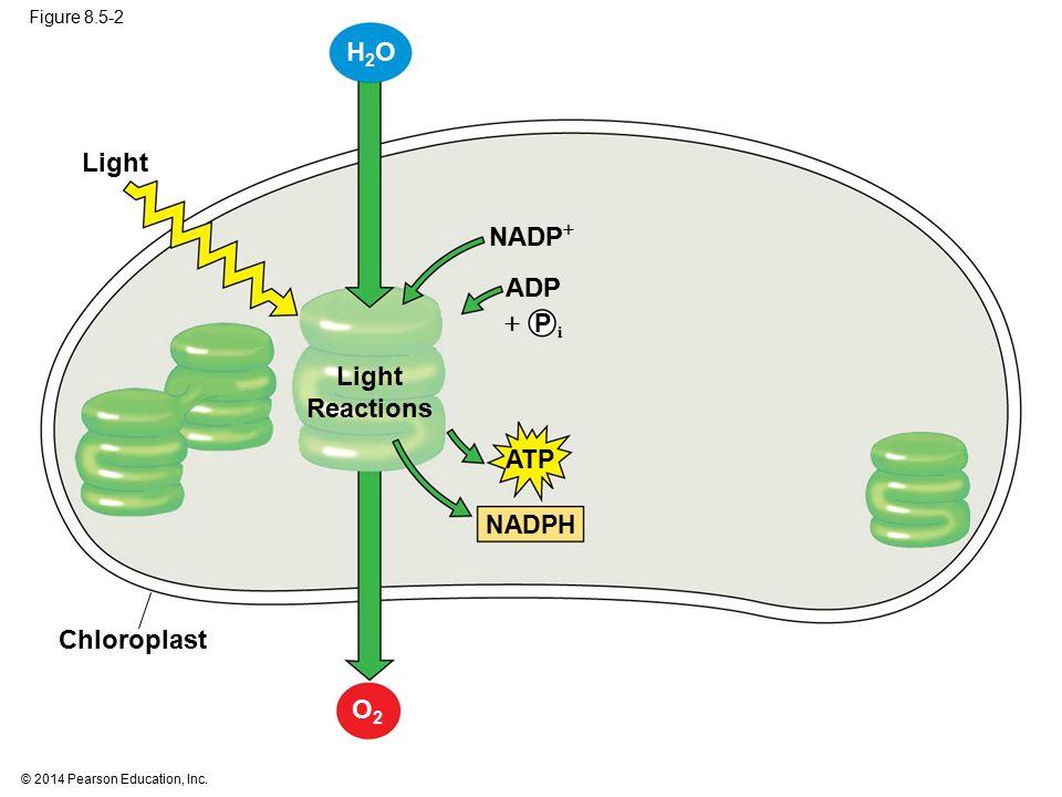 H2O Light NADP ADP  Light Reactions Chloroplast O2 P i ATP NADPH