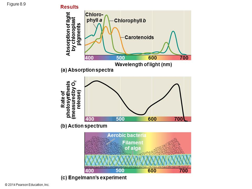 Wavelength of light (nm) (a) Absorption spectra