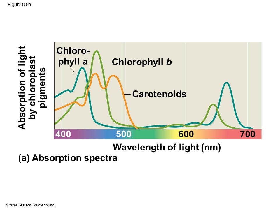 Chloro- phyll a Absorption of light by chloroplast pigments