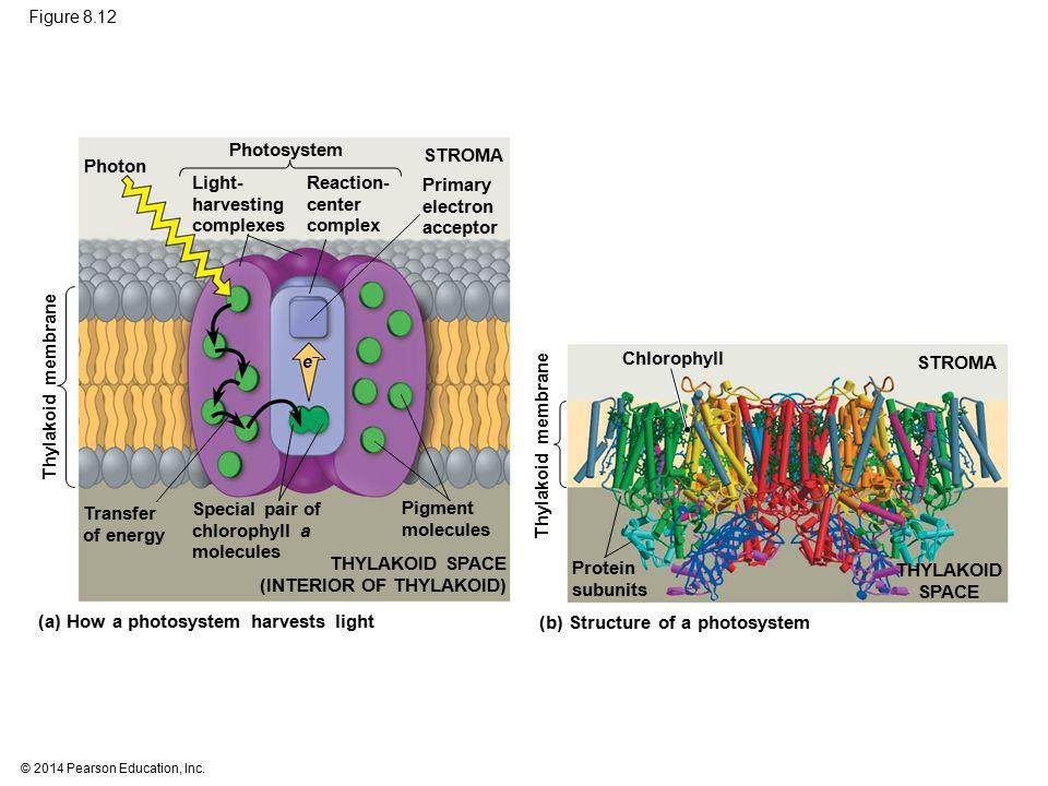 (INTERIOR OF THYLAKOID) Protein subunits THYLAKOID SPACE