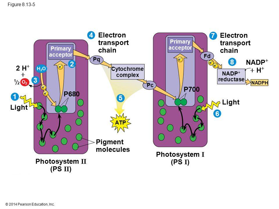 Photosystem I (PS I) Photosystem II (PS II)