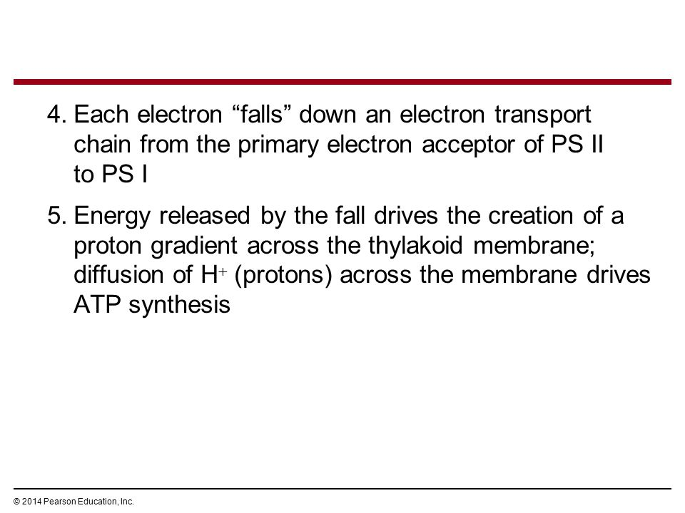 Each electron falls down an electron transport chain from the primary electron acceptor of PS II to PS I