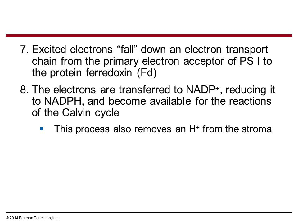 Excited electrons fall down an electron transport chain from the primary electron acceptor of PS I to the protein ferredoxin (Fd)