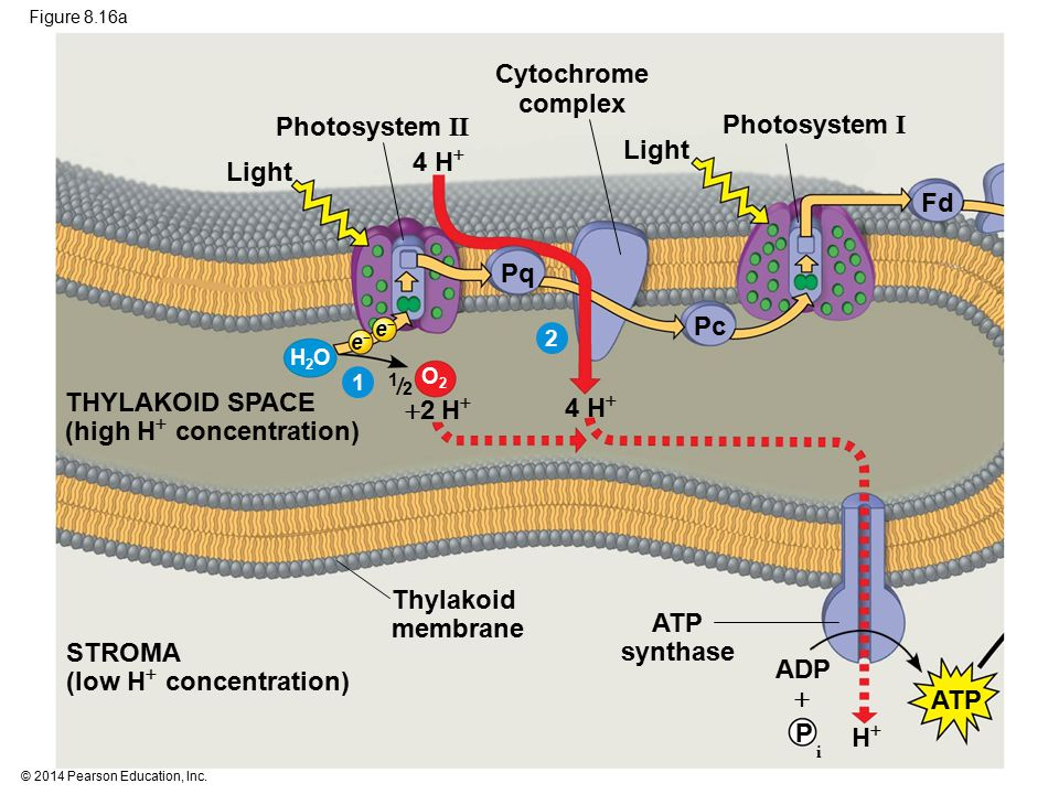 Cytochrome complex ATP synthase