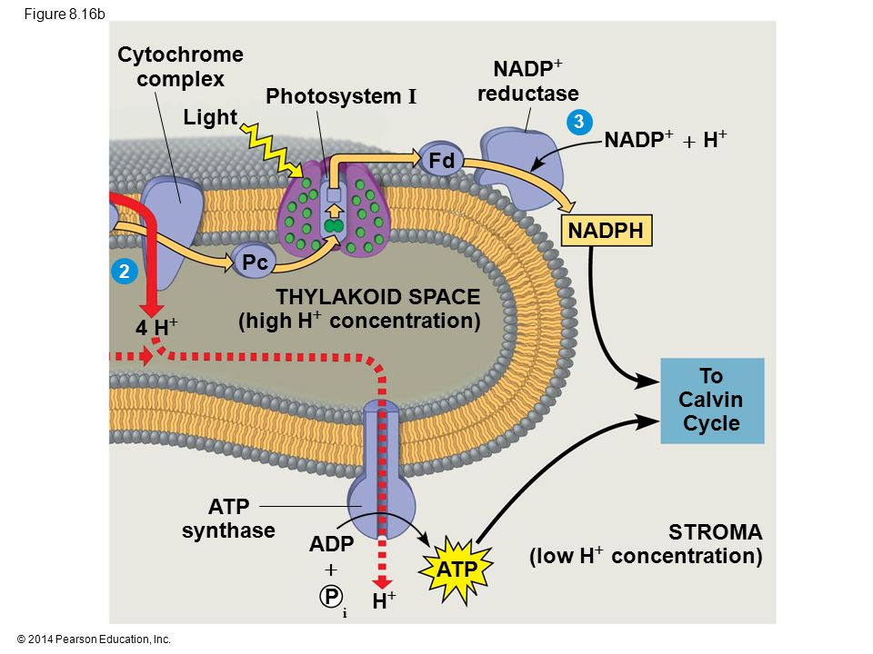 Cytochrome complex NADP reductase To Calvin Cycle ATP synthase
