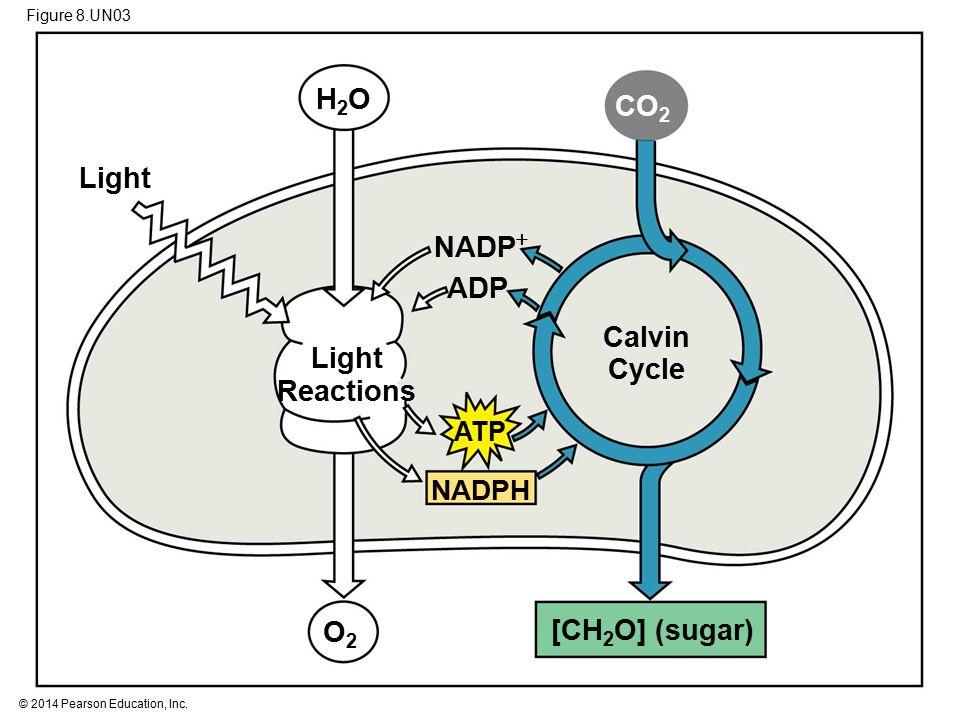 Calvin Cycle Light Reactions