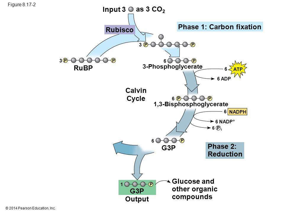 Phase 1: Carbon fixation Rubisco