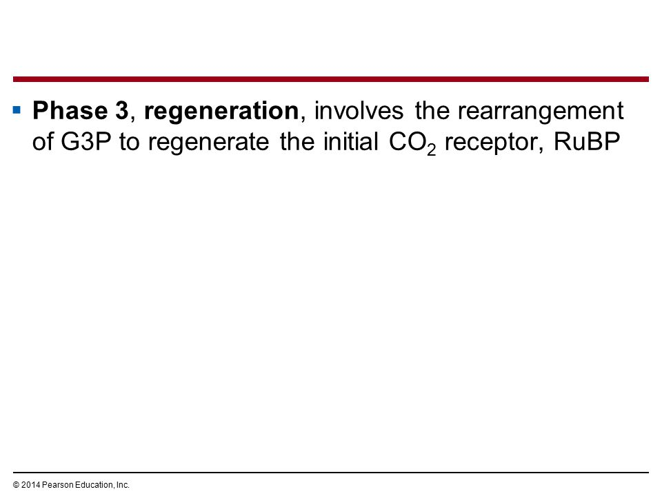 Phase 3, regeneration, involves the rearrangement of G3P to regenerate the initial CO2 receptor, RuBP