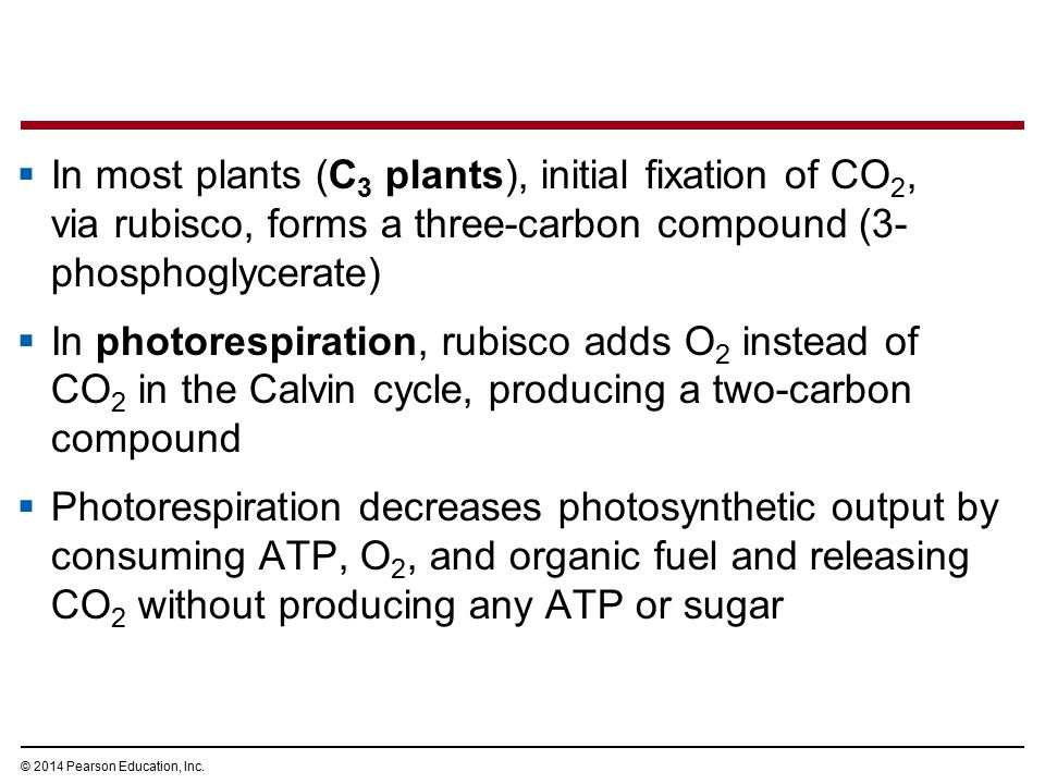 In most plants (C3 plants), initial fixation of CO2, via rubisco, forms a three-carbon compound (3-phosphoglycerate)