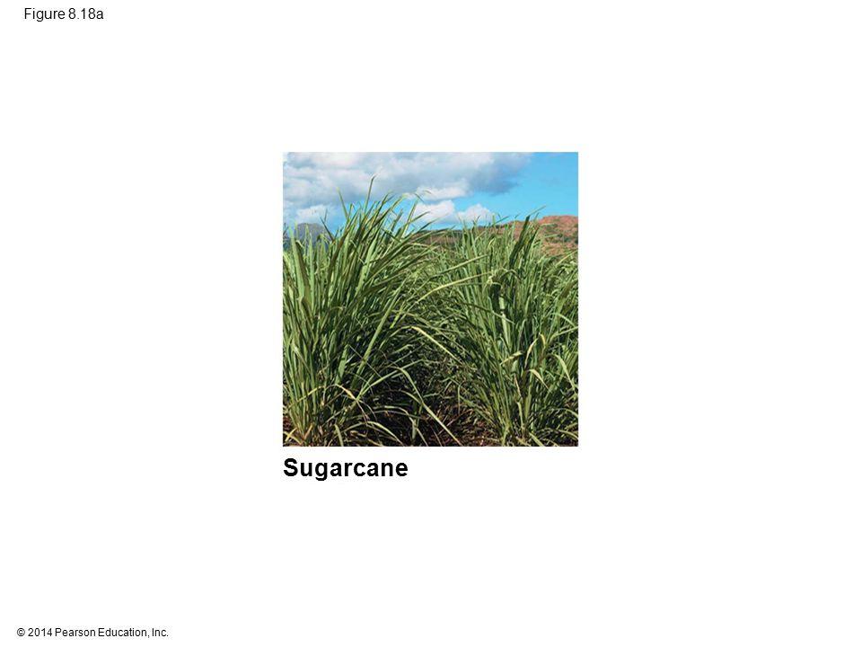Figure 8.18a Figure 8.18a C4 and CAM photosynthesis compared (part 1: C4, sugarcane) Sugarcane 80