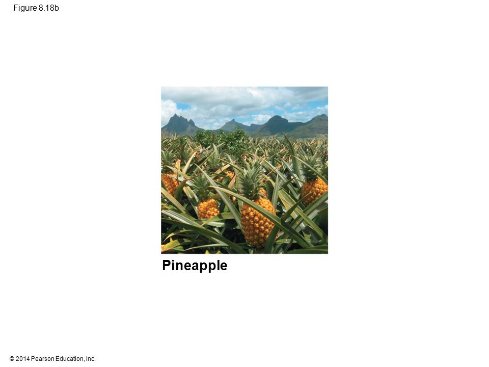 Figure 8.18b Figure 8.18b C4 and CAM photosynthesis compared (part 2: CAM, pineapple) Pineapple 81