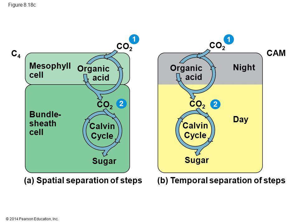 Calvin Cycle Calvin Cycle
