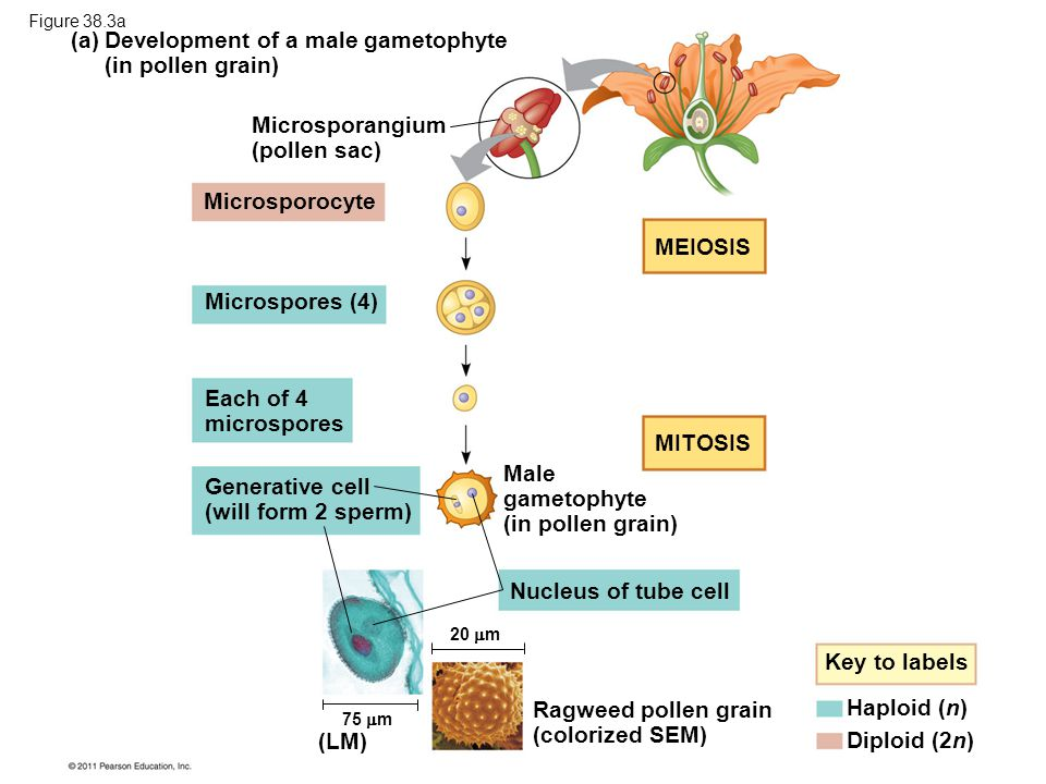 Development of a male gametophyte (in pollen grain) (a)