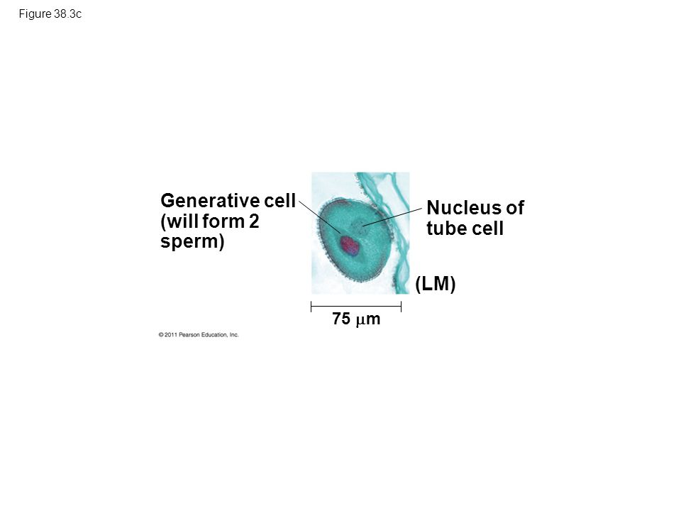 Generative cell (will form 2 sperm) Nucleus of tube cell