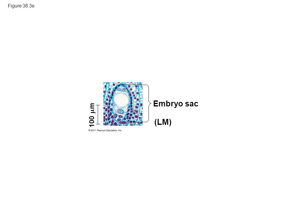 Embryo sac (LM) 100 m Figure 38.3e