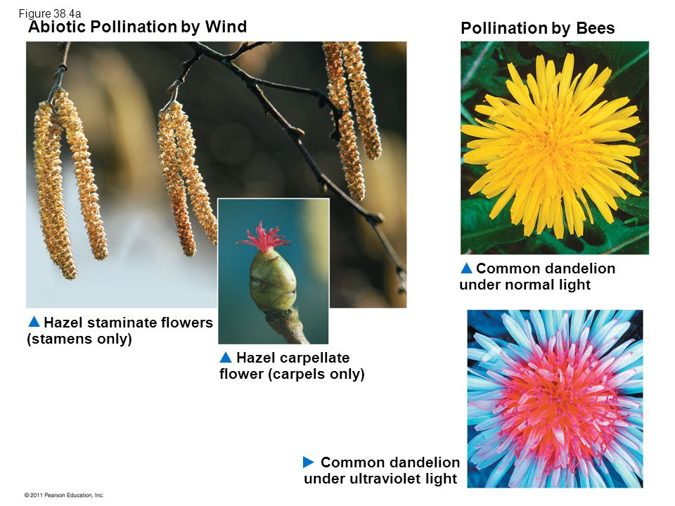 Abiotic Pollination by Wind Pollination by Bees