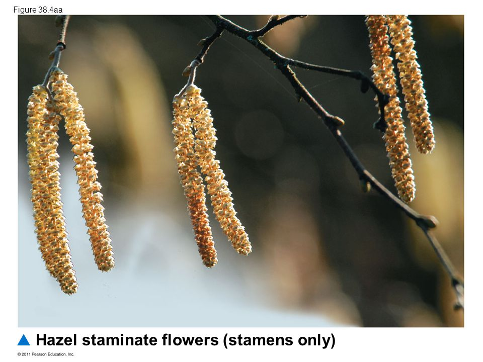 Hazel staminate flowers (stamens only)