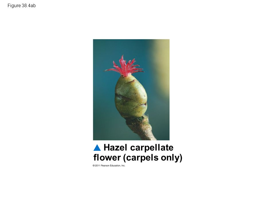Hazel carpellate flower (carpels only)