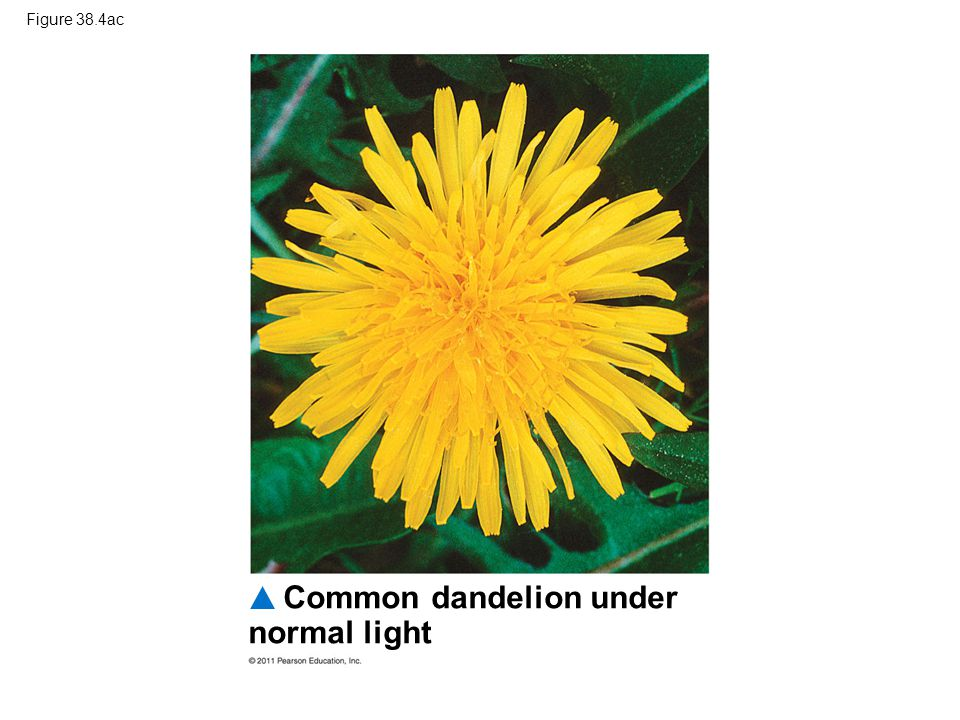 Common dandelion under normal light