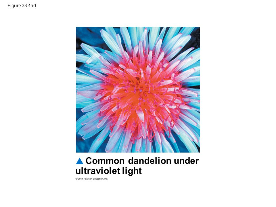 Common dandelion under ultraviolet light