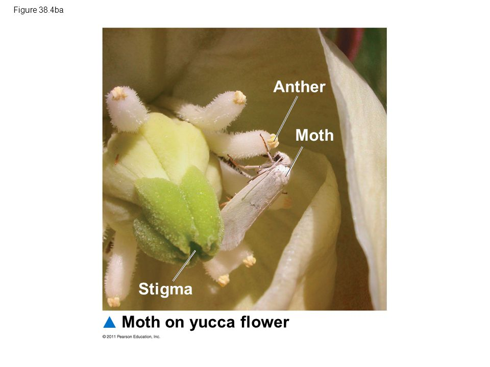 Anther Moth Stigma Moth on yucca flower Figure 38.4ba