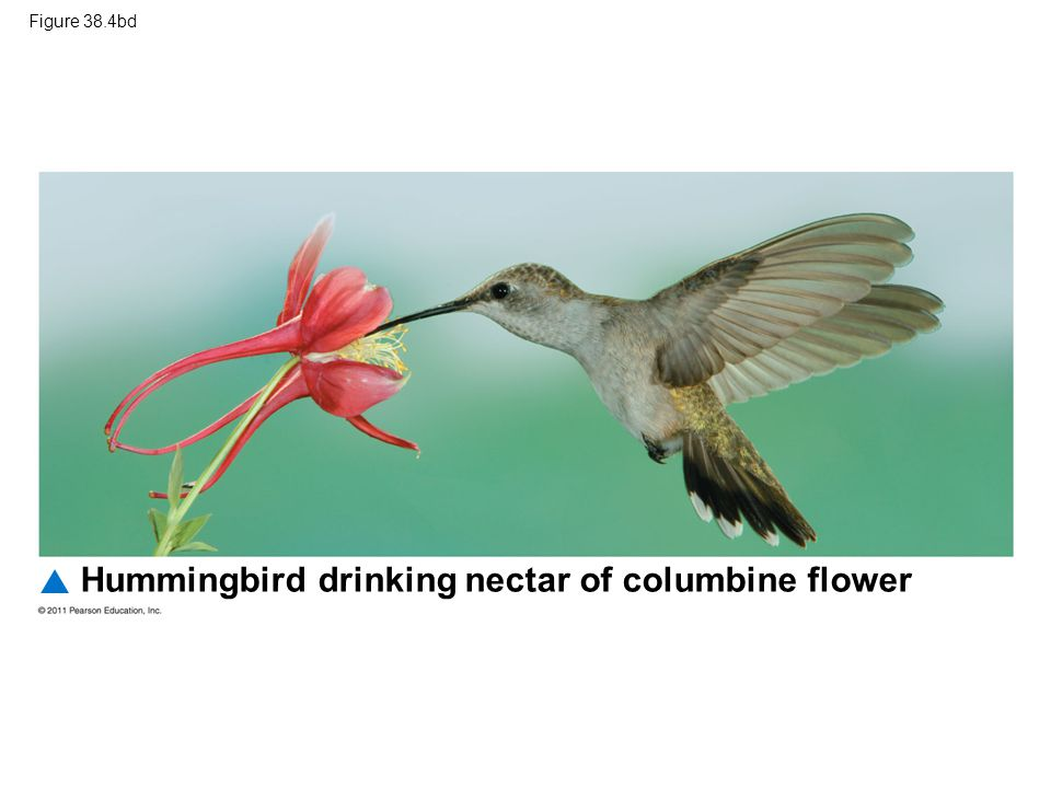 Hummingbird drinking nectar of columbine flower