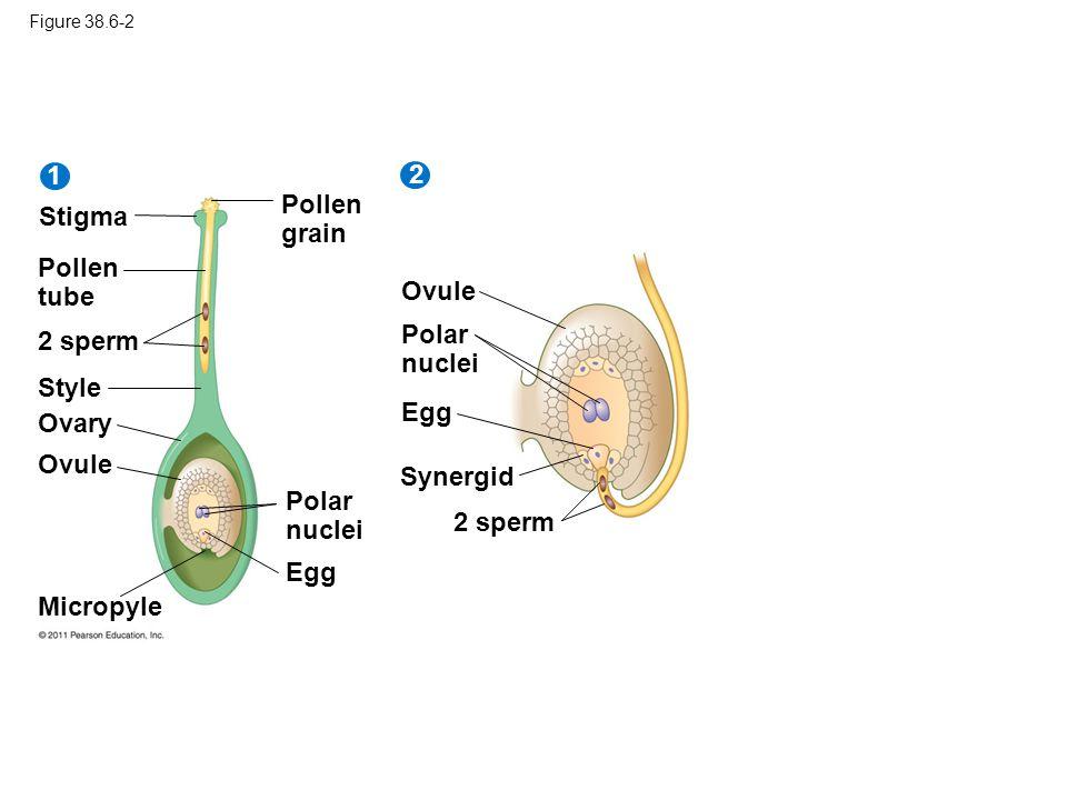 1 2 Pollen grain Stigma Pollen tube Ovule Polar nuclei 2 sperm Style