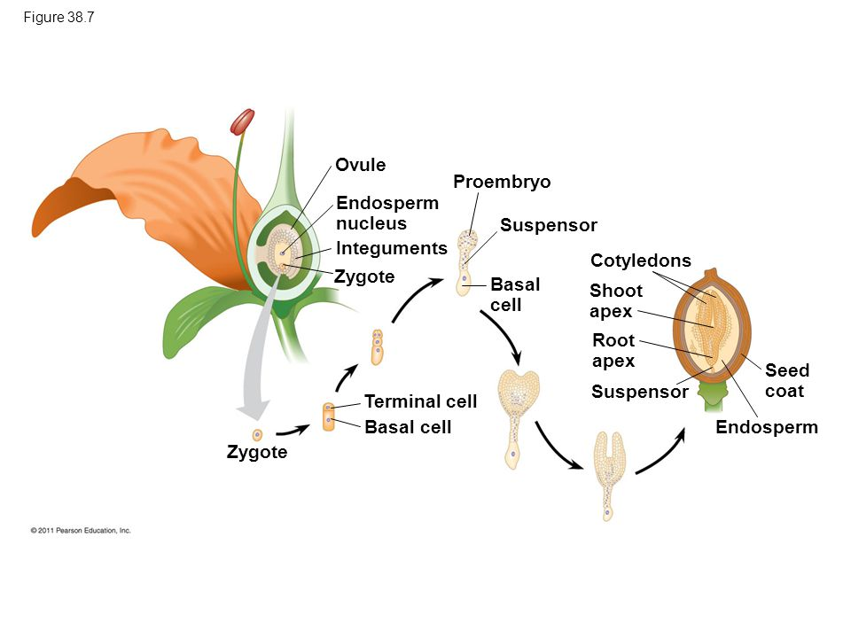 Ovule Proembryo Endosperm nucleus Suspensor Integuments Cotyledons