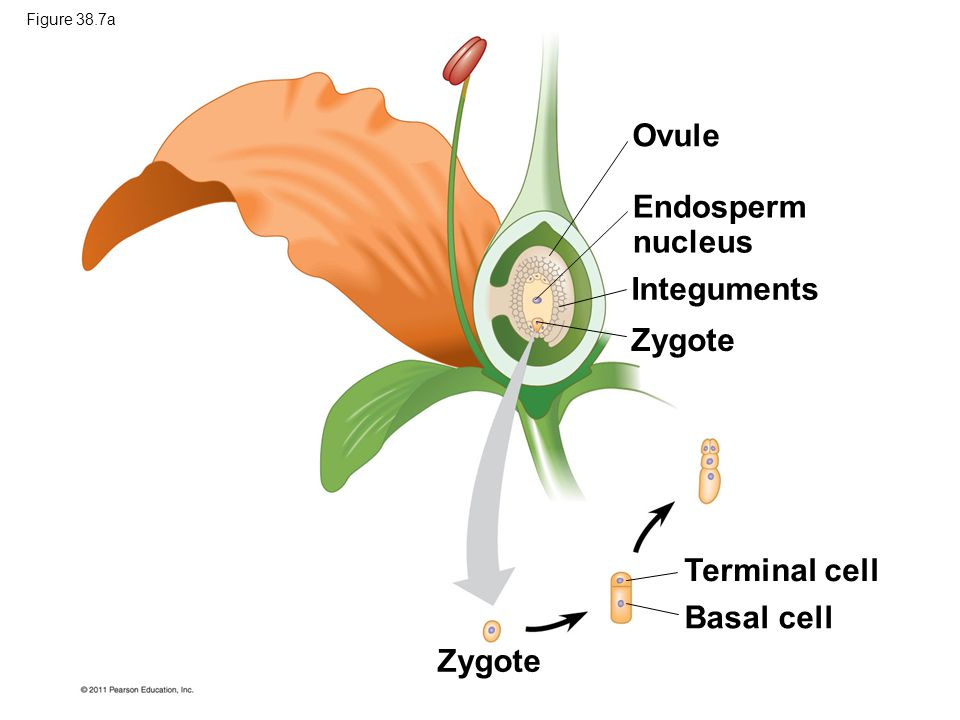 Ovule Endosperm nucleus Integuments Zygote Terminal cell Basal cell