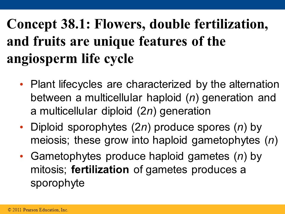 Concept 38.1: Flowers, double fertilization, and fruits are unique features of the angiosperm life cycle