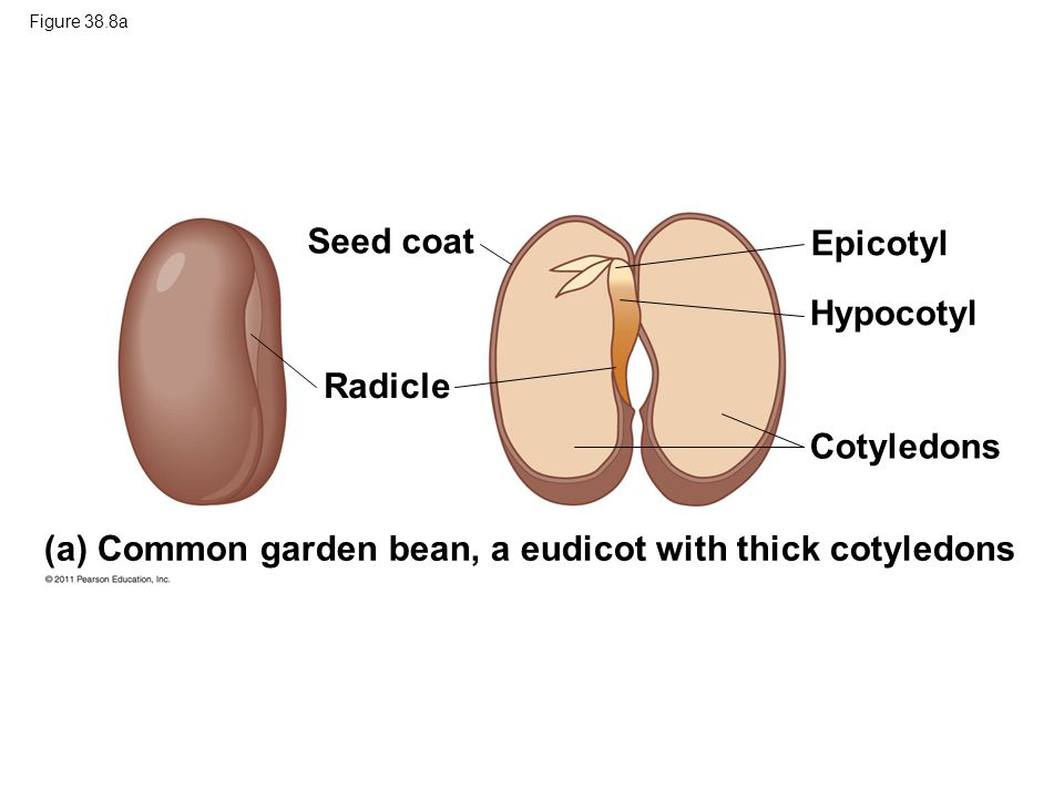 (a) Common garden bean, a eudicot with thick cotyledons