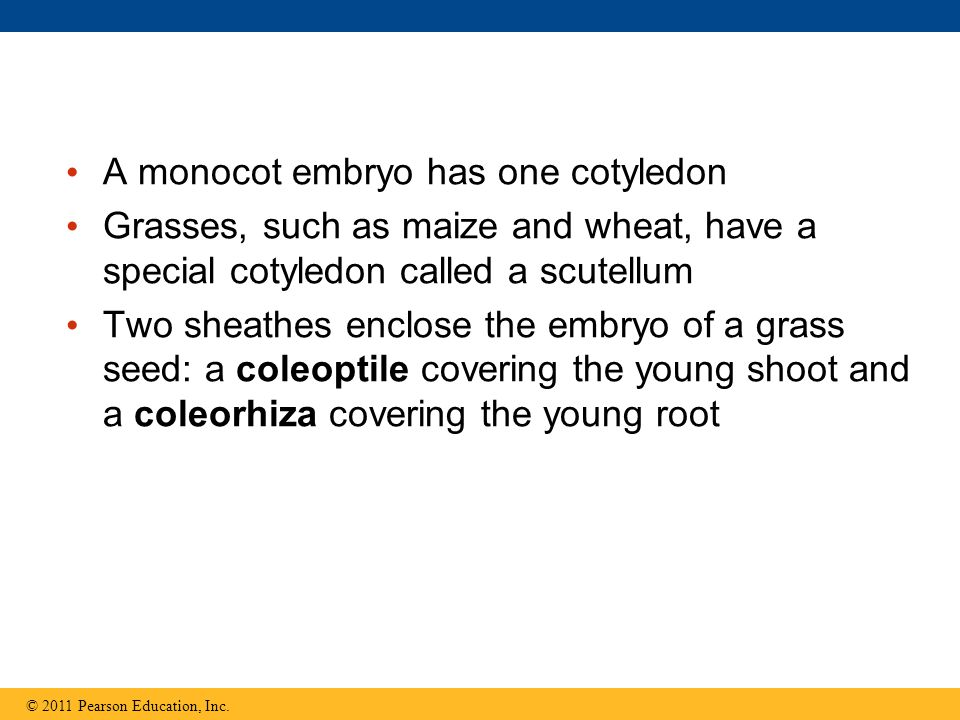 A monocot embryo has one cotyledon