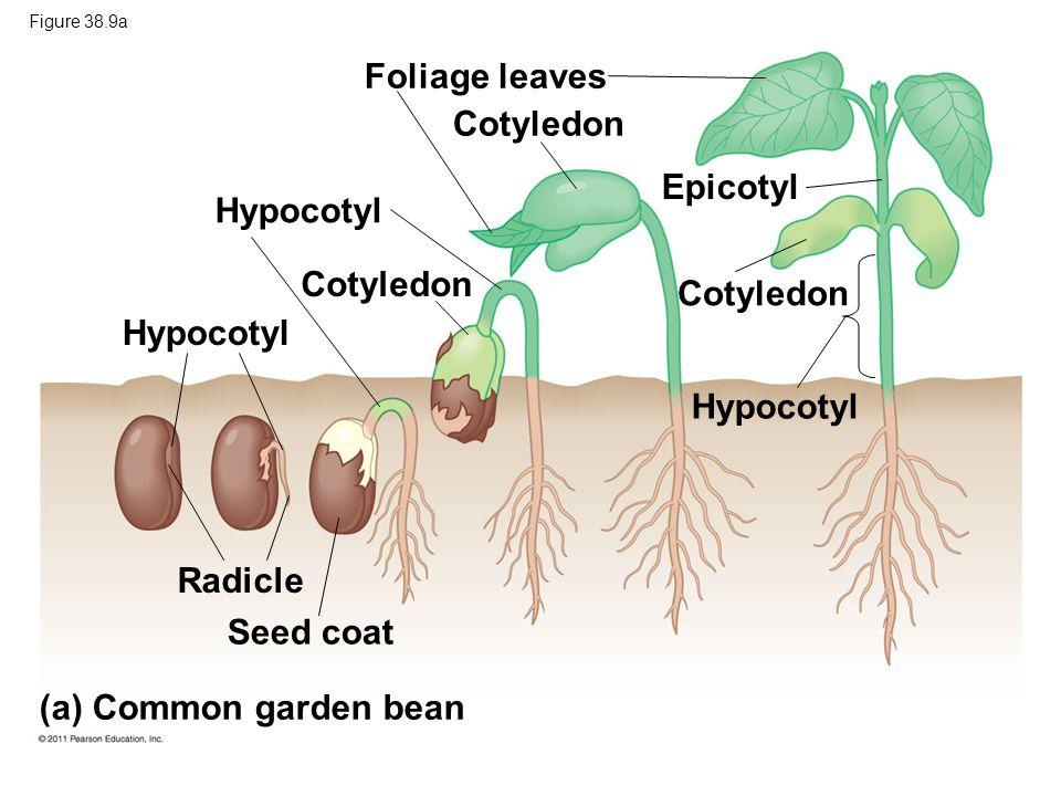 Foliage leaves Cotyledon Epicotyl Hypocotyl Cotyledon Cotyledon