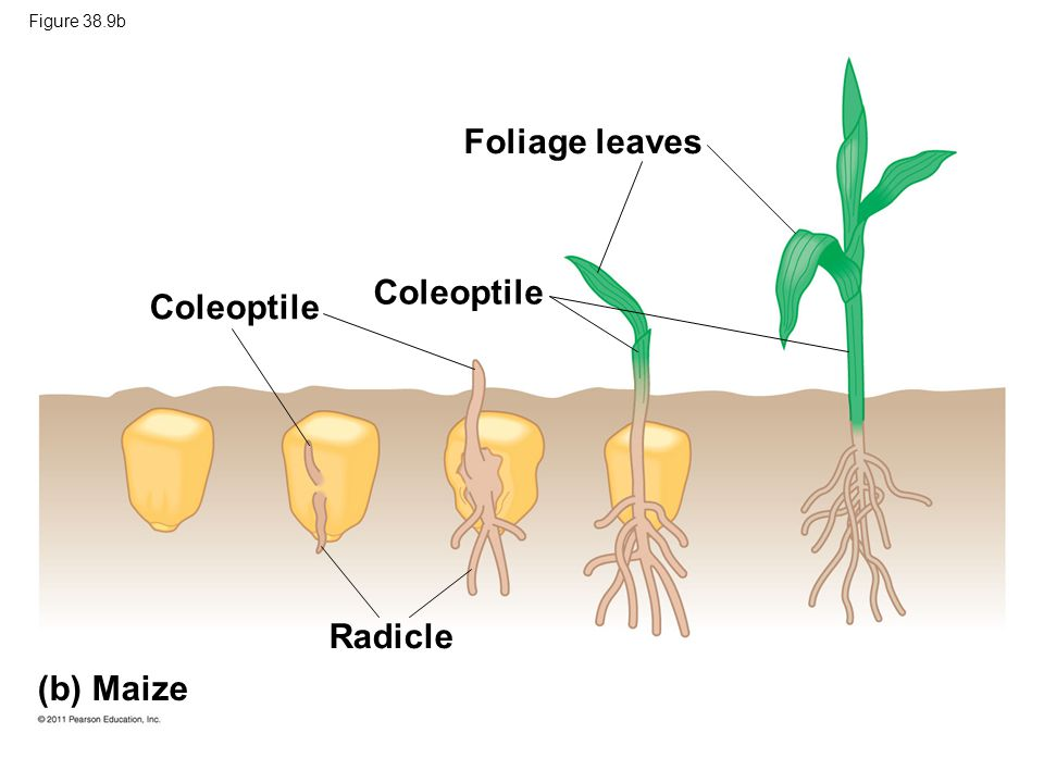 Foliage leaves Coleoptile Coleoptile Radicle (b) Maize Figure 38.9b