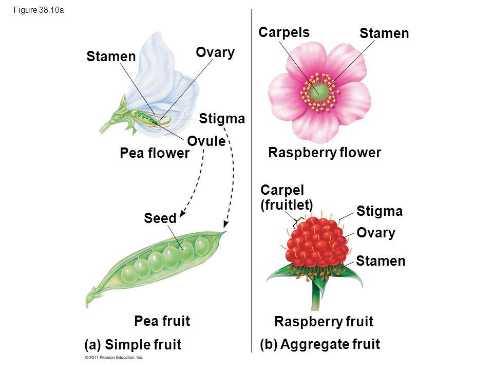 Carpels Stamen Ovary Stamen Stigma Ovule Pea flower Raspberry flower