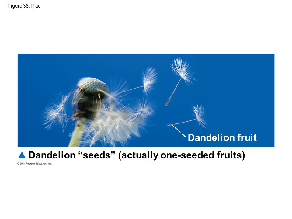 Dandelion seeds (actually one-seeded fruits)
