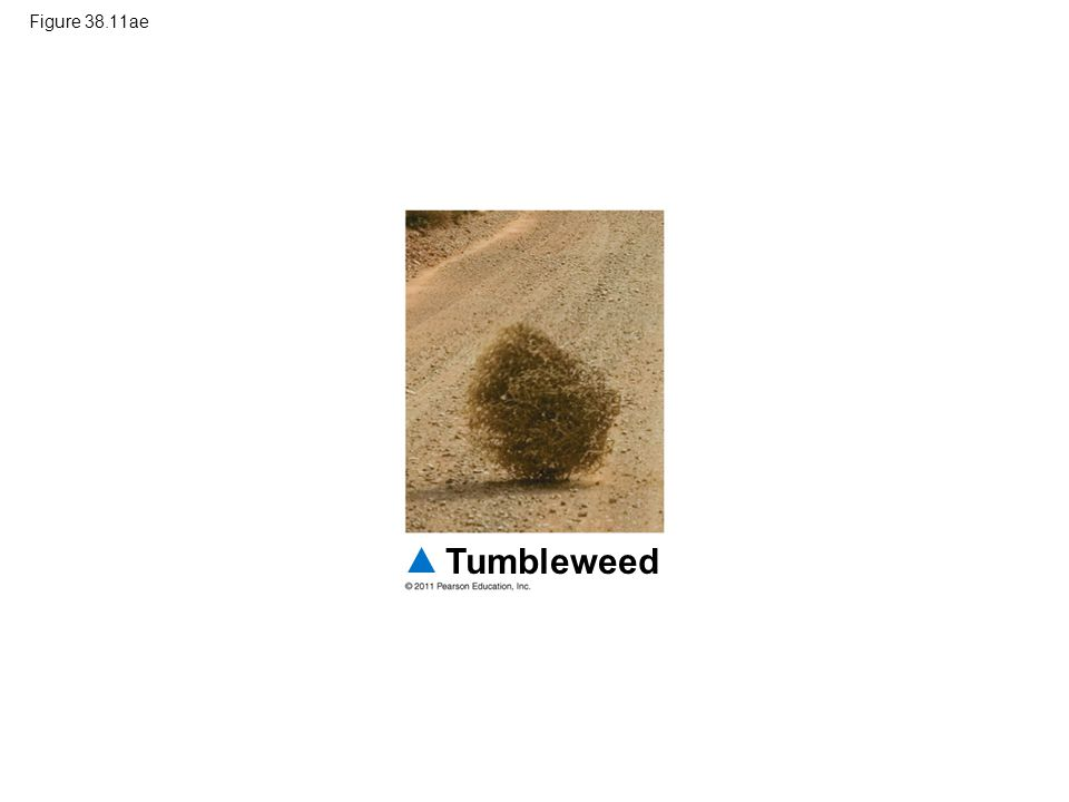 Figure 38.11ae Figure 38.11 Exploring: Fruit and Seed Dispersal Tumbleweed