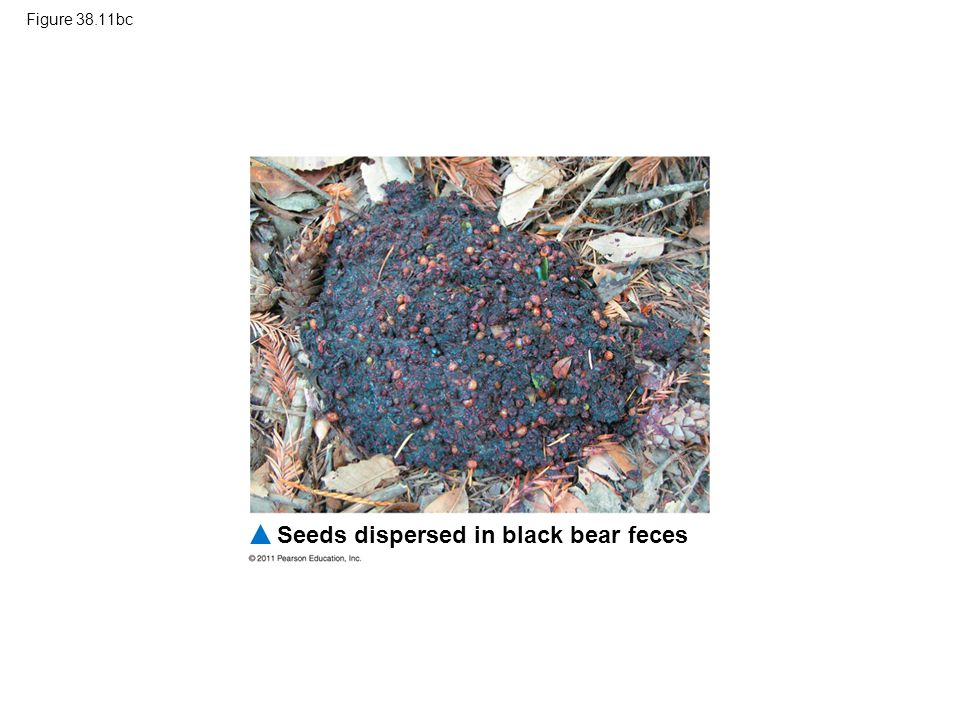 Seeds dispersed in black bear feces