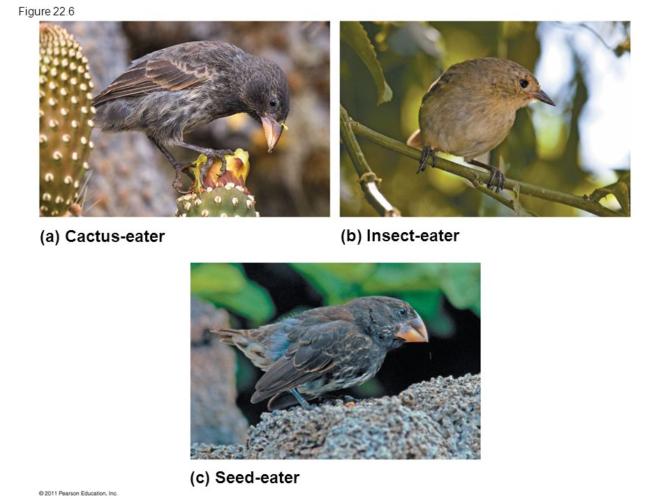 (a) Cactus-eater (b) Insect-eater (c) Seed-eater Figure 22.6