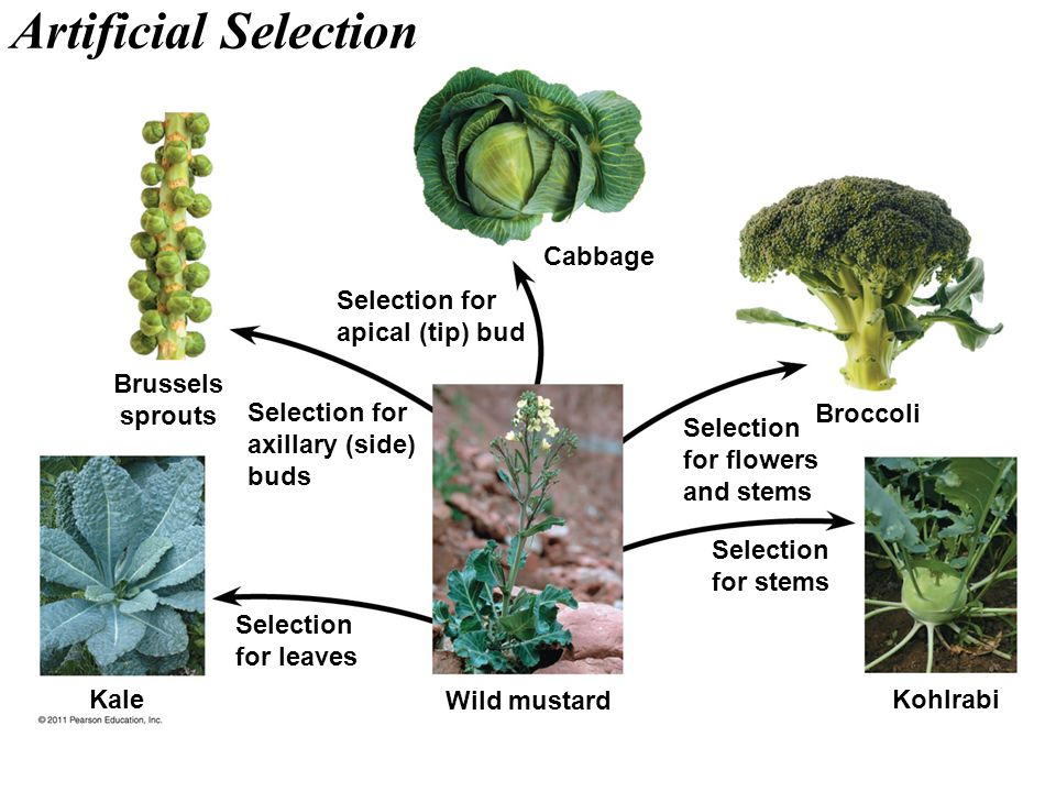 Artificial Selection Cabbage Selection for apical (tip) bud Brussels