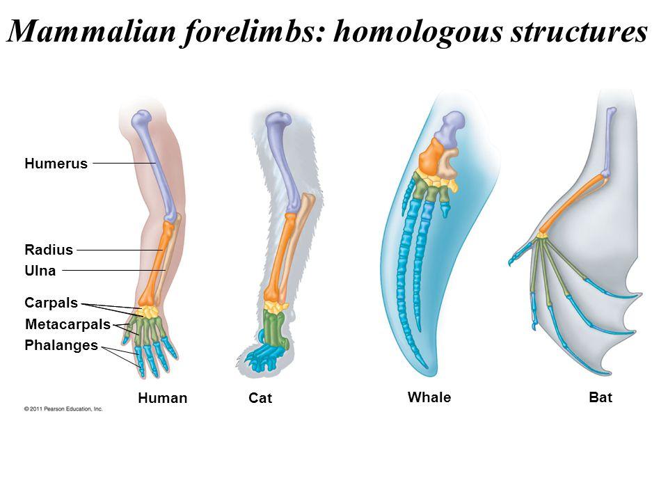 Mammalian forelimbs: homologous structures