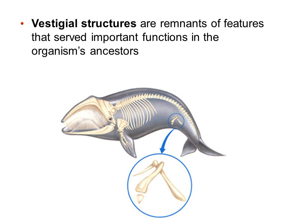 Vestigial structures are remnants of features that served important functions in the organism's ancestors