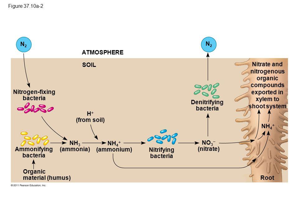 Nitrogen-fixing bacteria Denitrifying bacteria