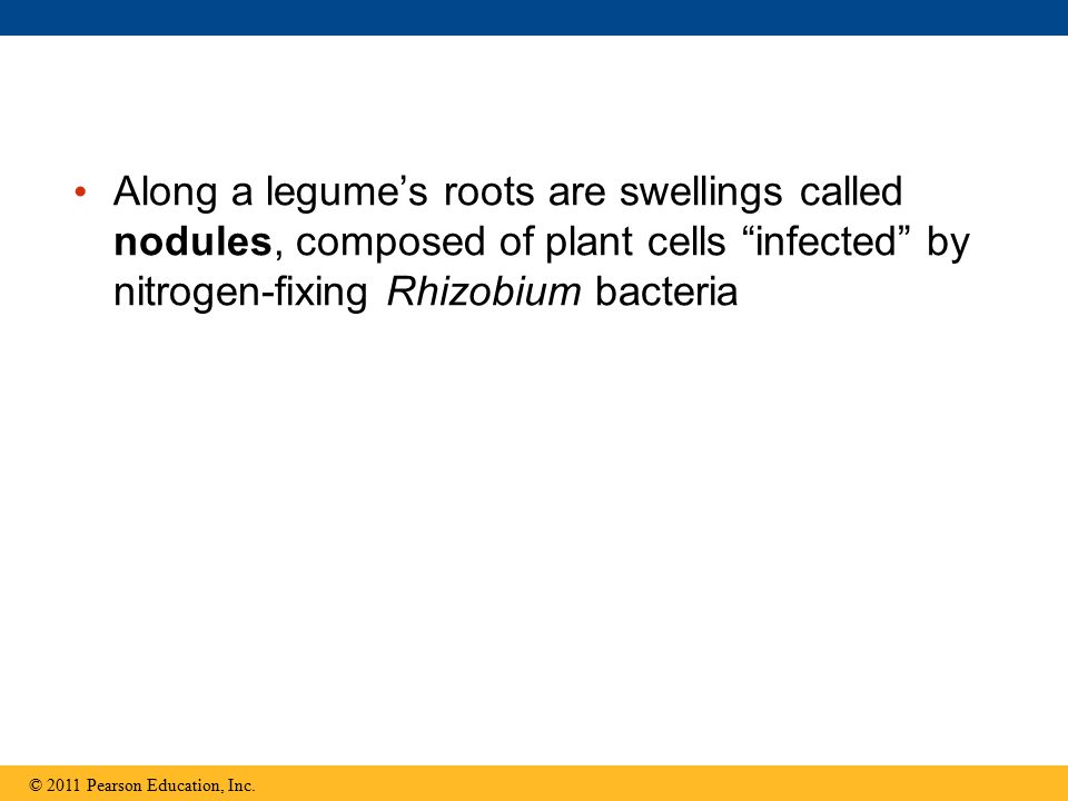 Along a legume's roots are swellings called nodules, composed of plant cells infected by nitrogen-fixing Rhizobium bacteria