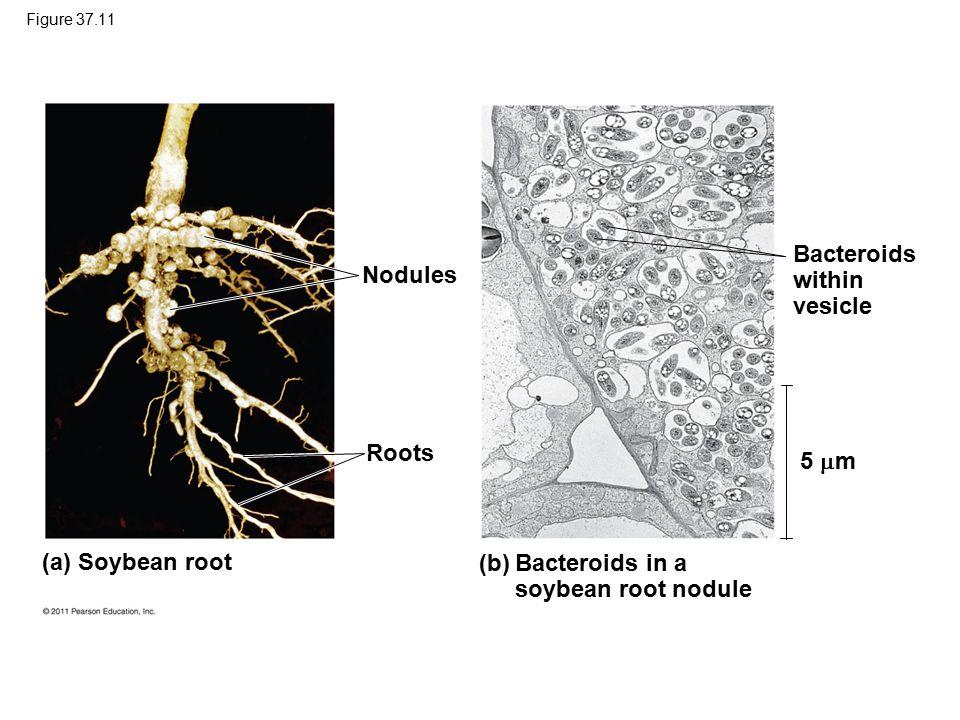 Bacteroids within vesicle Nodules