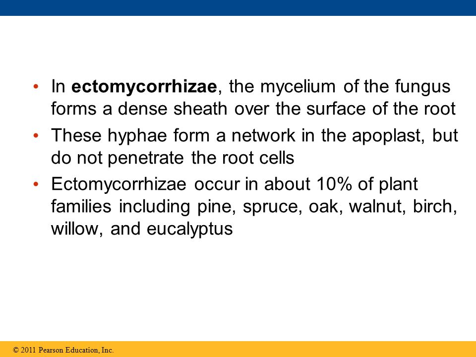 In ectomycorrhizae, the mycelium of the fungus forms a dense sheath over the surface of the root