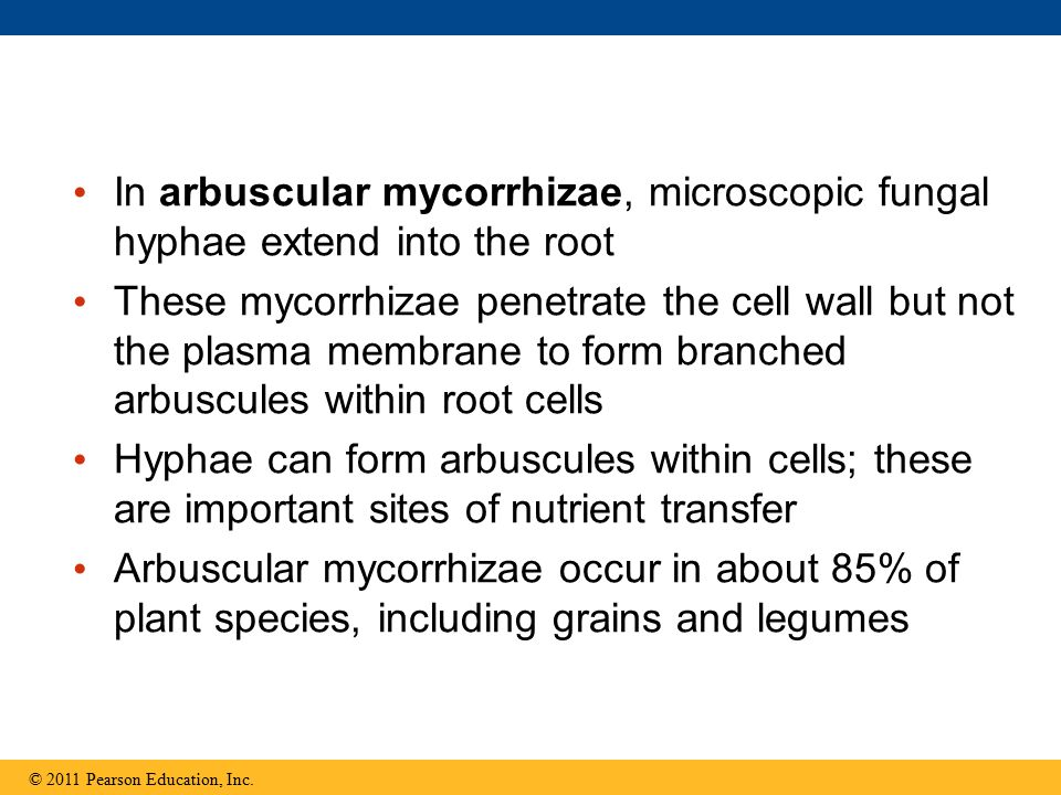 In arbuscular mycorrhizae, microscopic fungal hyphae extend into the root