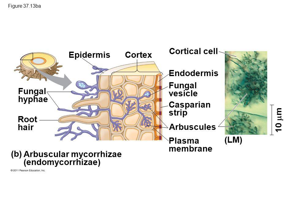 Arbuscular mycorrhizae (endomycorrhizae)